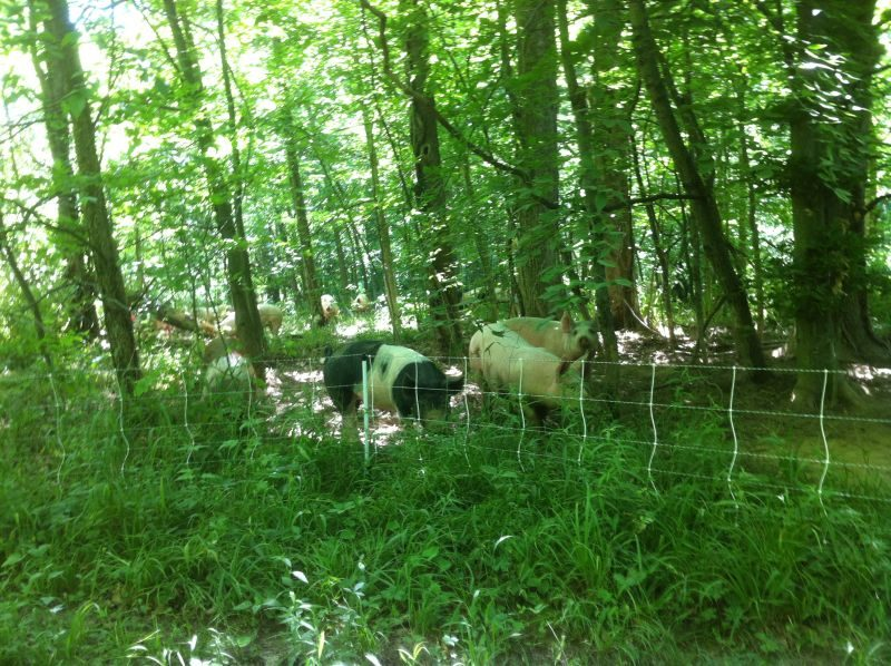 Simpson pigs in forest grazing